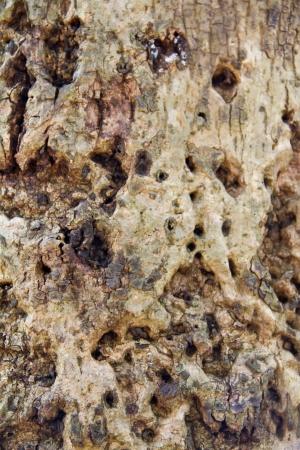 bark rain tree: Tree bark texture