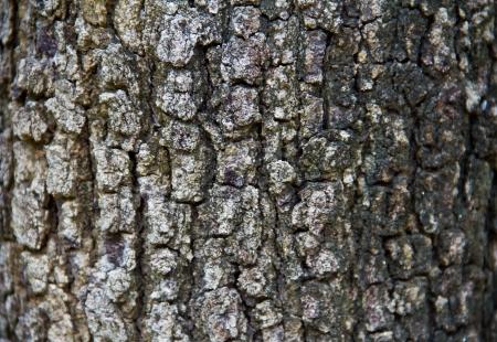 bark rain tree: Bark texture