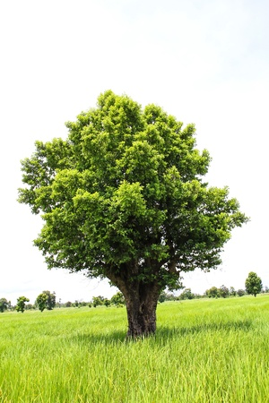 Single tree on rice green field photo