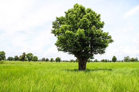 singular: Single tree on rice green field