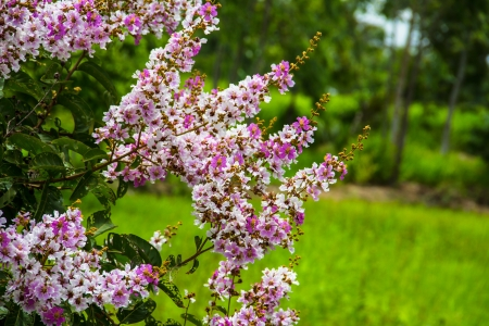 pers: Queens crape myrtle flowers or Queen s flower, Lagerstroemia inermis Pers