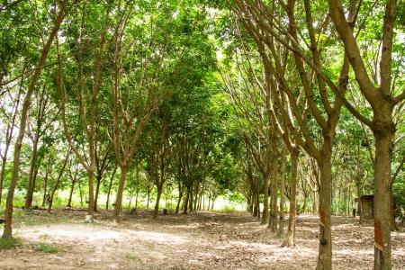 bark rain tree: Rubber plantation Stock Photo