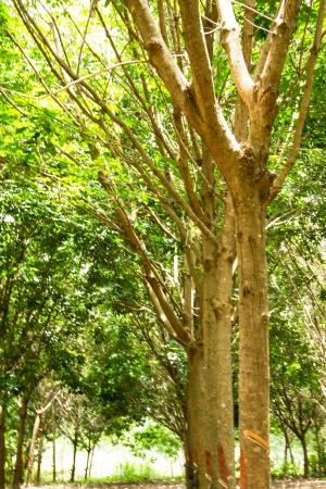 bark rain tree: Rubber tree plantation