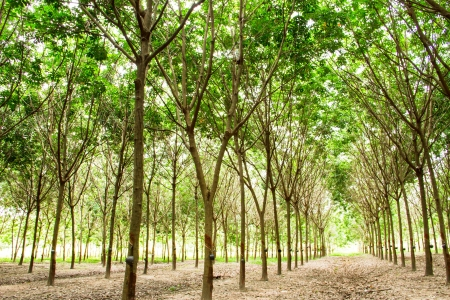 Rubber plantation, Thailand photo