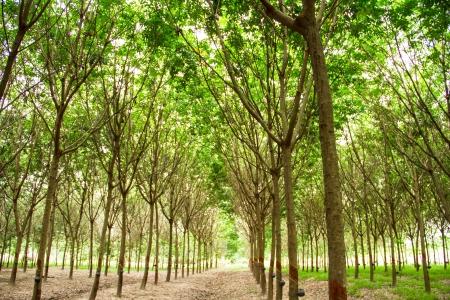 Rubber plantation, Thailand photo