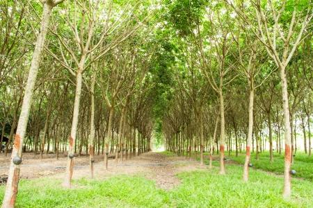 bark rain tree: Rubber plantation, Thailand