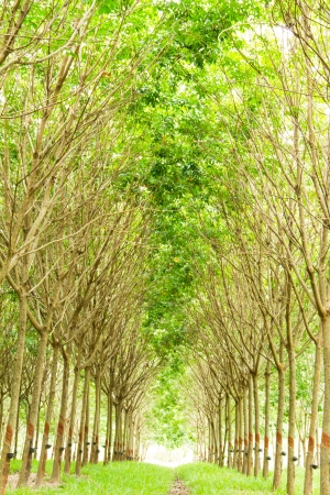Rubber plantation, Thailand