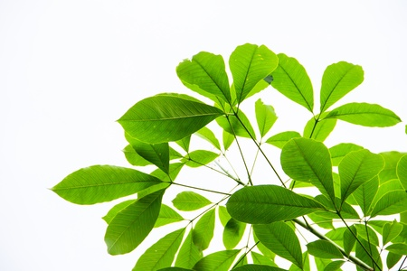 Green leaf isolated on white background Фото со стока