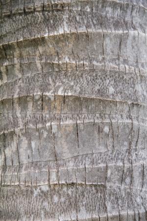 Bark texture, Back of coconut tree photo