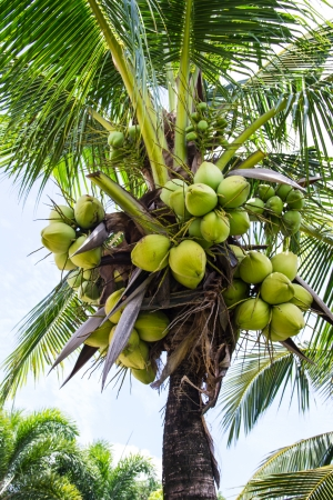 Coconut at tree Stock Photo