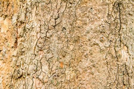 bark rain tree: Bark of tropical tree in the northeast of Thailand