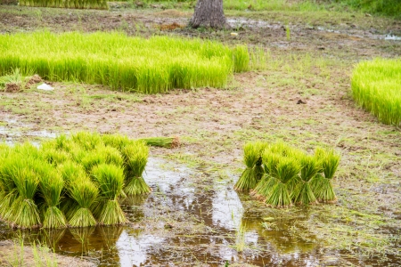agriculturalist: Green paddy