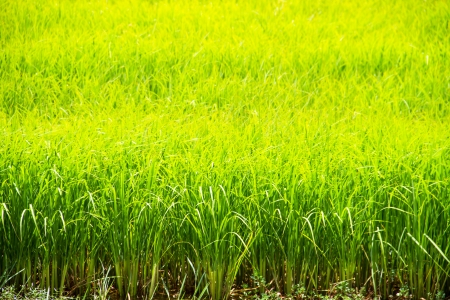 Green rice field, Thailand photo