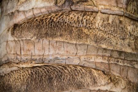Bark texture, Coconut bark tree photo