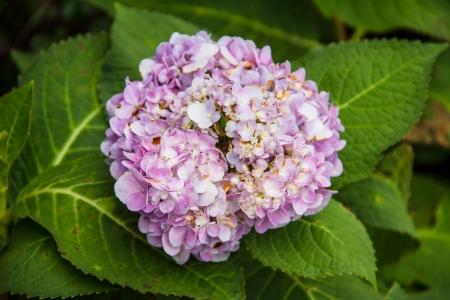 hortensia photo