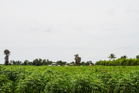 Cassava plantation photo