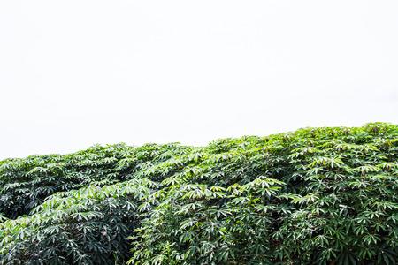 Cassava photo
