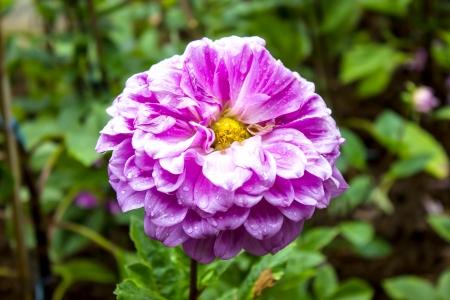 Dahlia Flower, Mae Fah Luang Garden,locate on Doi Tung, Chiangrai Province, Thailand photo