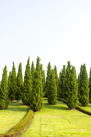 Pine Tree Garden With Blue Sky Photo