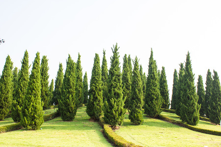 Pine tree garden with blue sky Stock Photo - 23398288