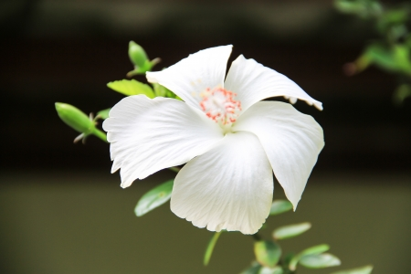 Chinese rose flower, Hibiscus rosa sinensis  photo