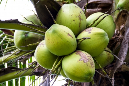 Green coconut on tree photo