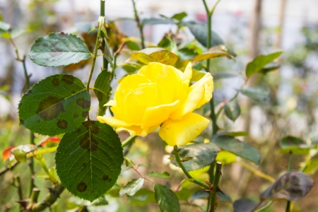 Yellow rose photo