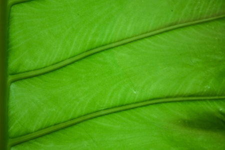 esculenta: esculenta colocasia leave background