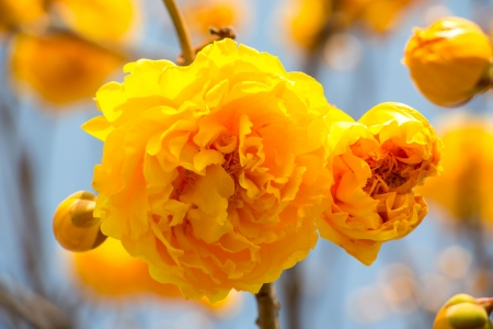 syn: yellow silk cotton flowers Stock Photo