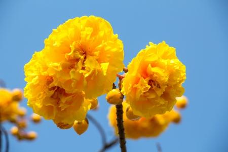 plant gossypium: fiori gialli del cotone di seta Archivio Fotografico