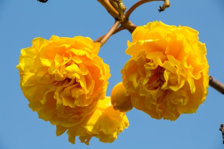 plant gossypium: fiori gialli cotone di seta sul cielo blu