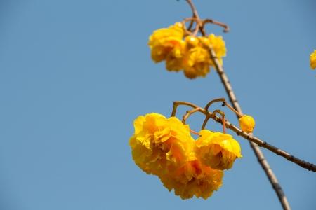 plant gossypium: yellow silk cotton flowers on blue sky