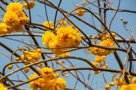 yellow silk cotton flowers  photo