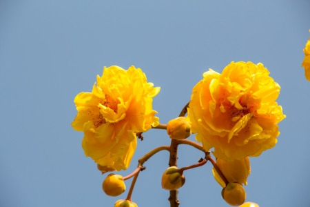 yellow silk cotton flowers on blue sky photo