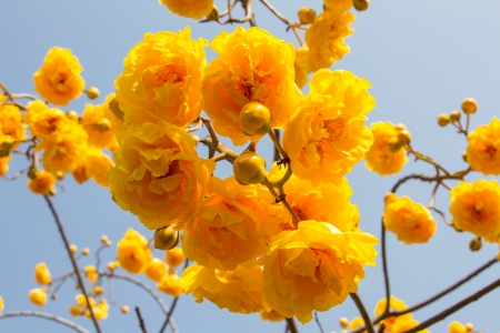 syn: yellow silk cotton flowers on blue sky