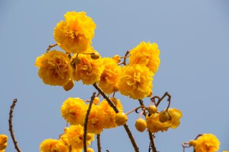 plant gossypium: cotone seta fiori gialli