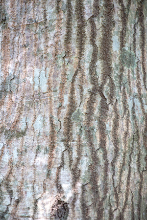 fagaceae: Bark of tropical tree in the northeast of Thailand
