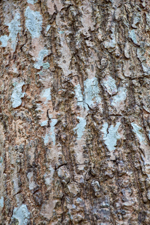 fagaceae: Bark tree in the northeast of Thailand Stock Photo