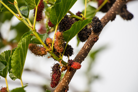 mulberry on tree photo