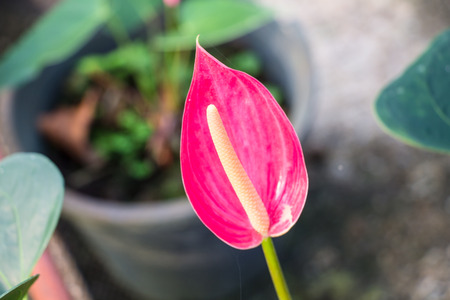 Red Flamingo lily flower  Boy Flower  photo