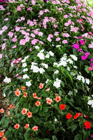 impatiens: impatiens flowers background Stock Photo