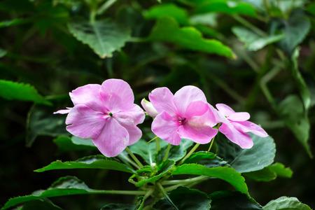 impatiens: impatiens flores