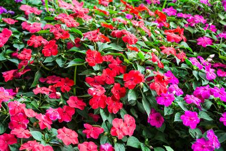impatiens flowers photo