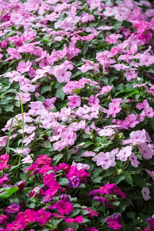 impatiens: impatiens flowers