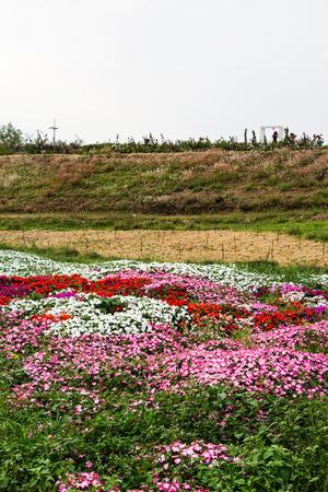 impatiens: impatiens flowers garden Stock Photo