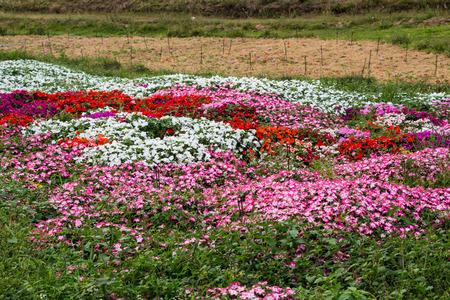 impatiens flowers garden photo