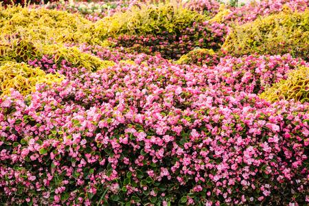 begonia: begonia garden