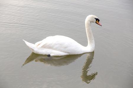 White goose photo