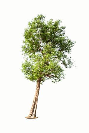 tropical tree: Irvingia malayana tambi�n conocido como Wild almendra, �rbol tropical en el noreste de Tailandia, aislado en fondo blanco