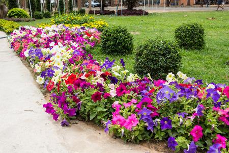Petunia flowers in a garden Imagens